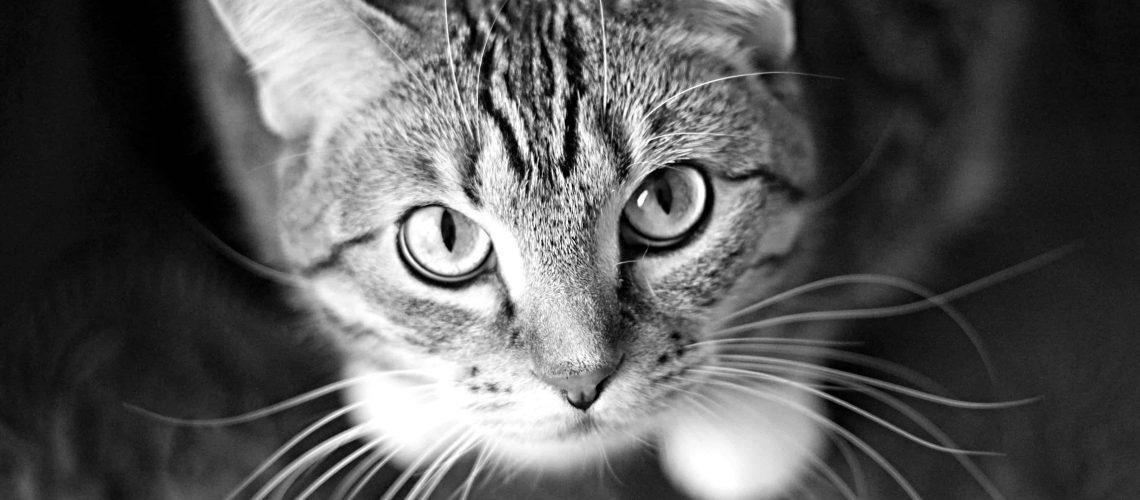 adorable-animal-cat-20787